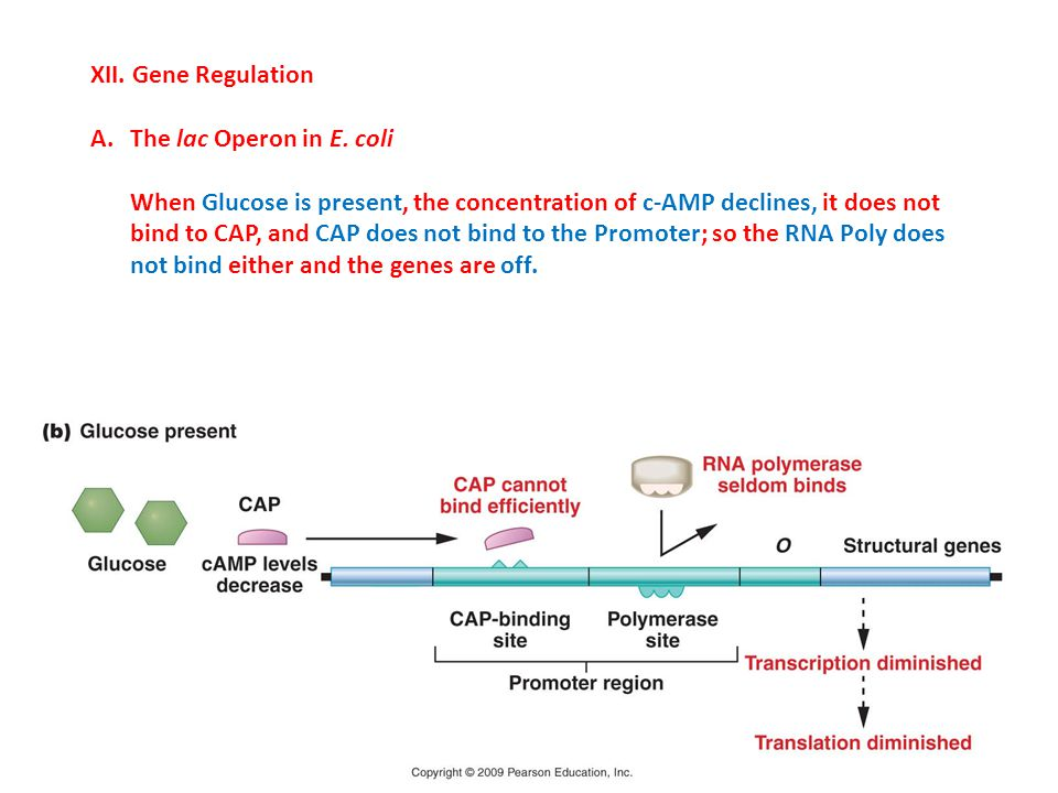 XII. Gene Regulation The lac Operon in E. coli