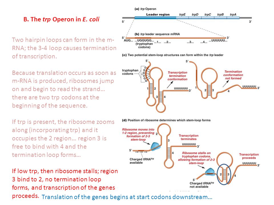 B. The trp Operon in E. coli