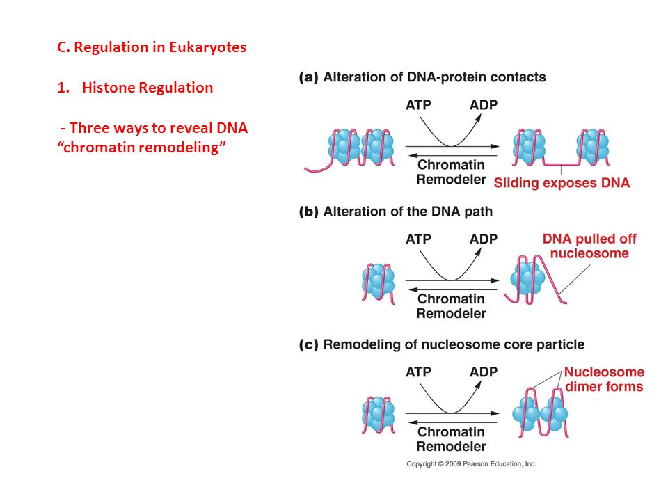 C. Regulation in Eukaryotes