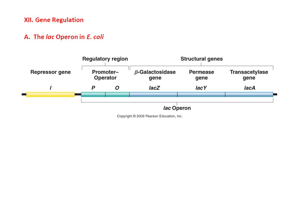 XII. Gene Regulation A. The lac Operon in E. coli