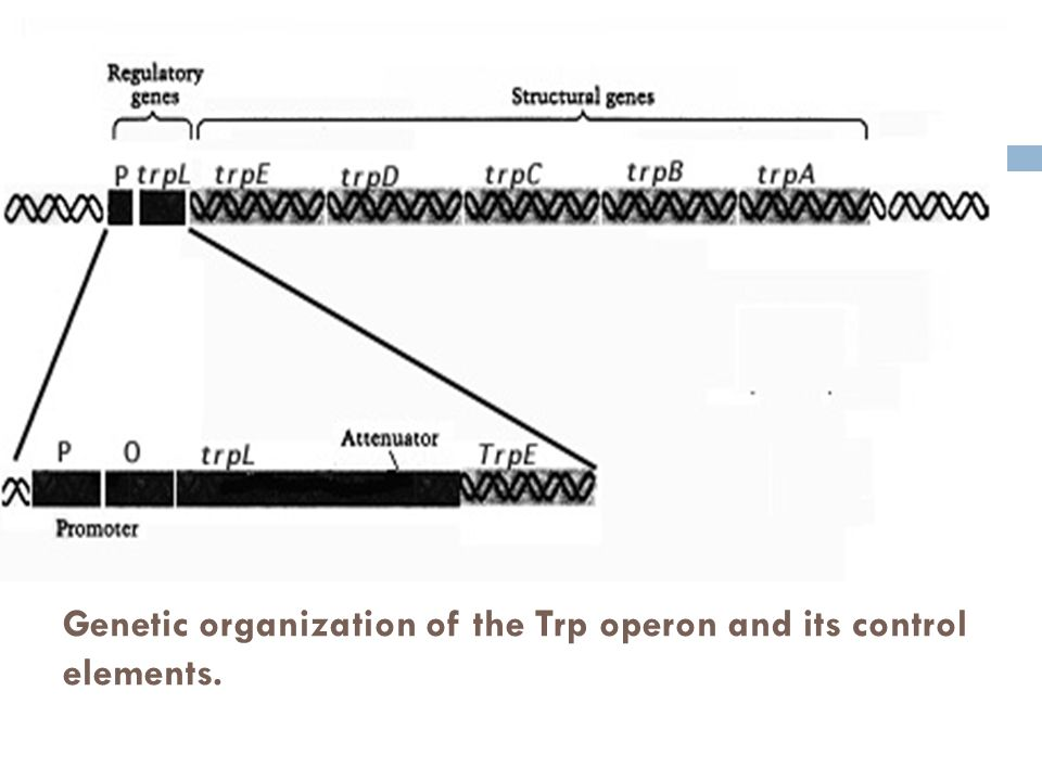 Genetic organization of the Trp operon and its control elements.