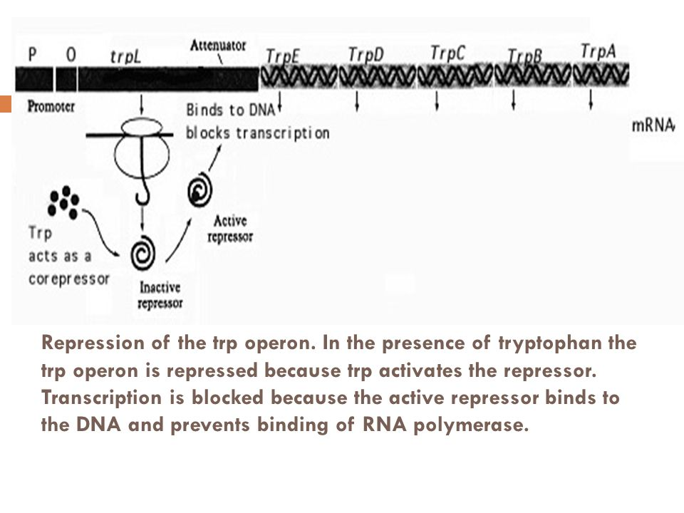 Repression of the trp operon