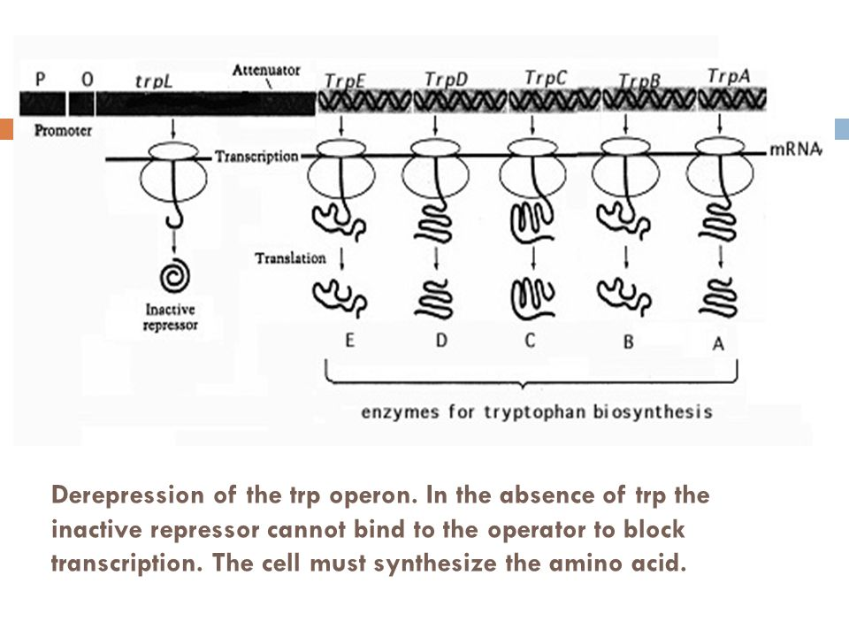 Derepression of the trp operon