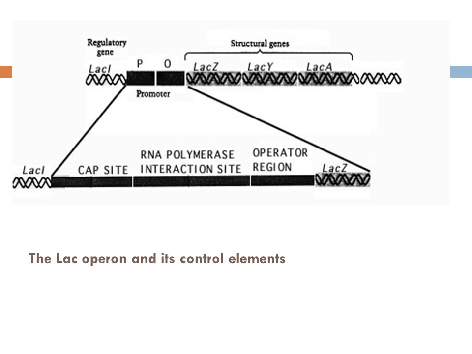 The Lac operon and its control elements