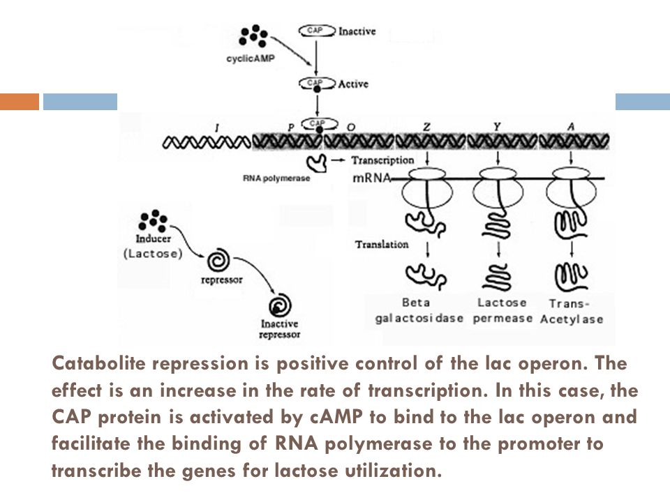 Catabolite repression is positive control of the lac operon