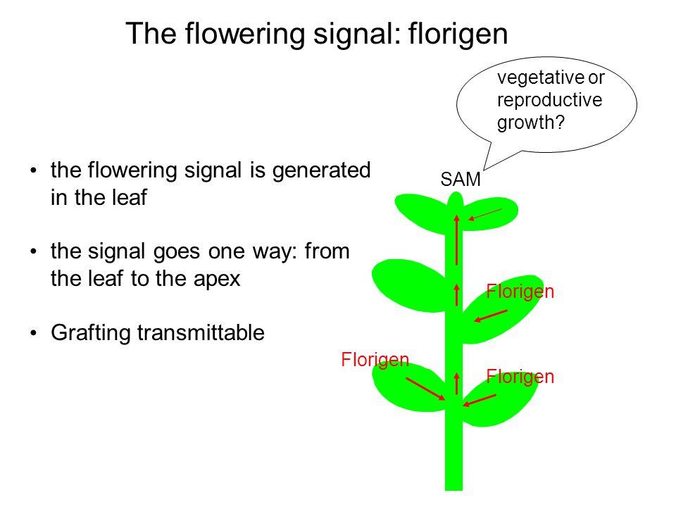 The flowering signal: florigen