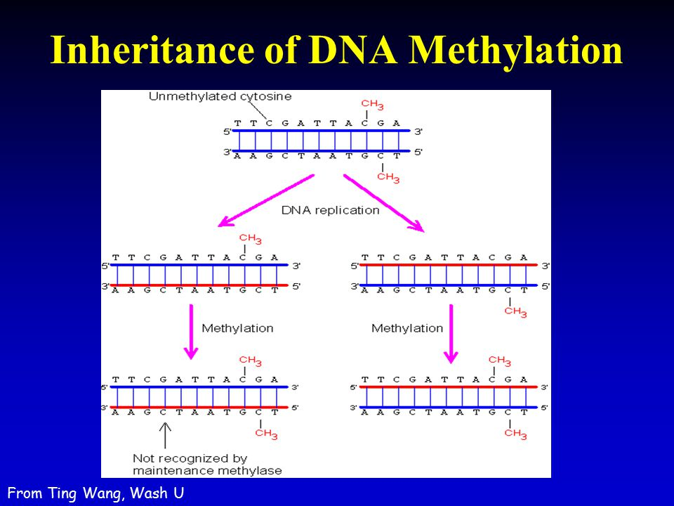 Inheritance of DNA Methylation