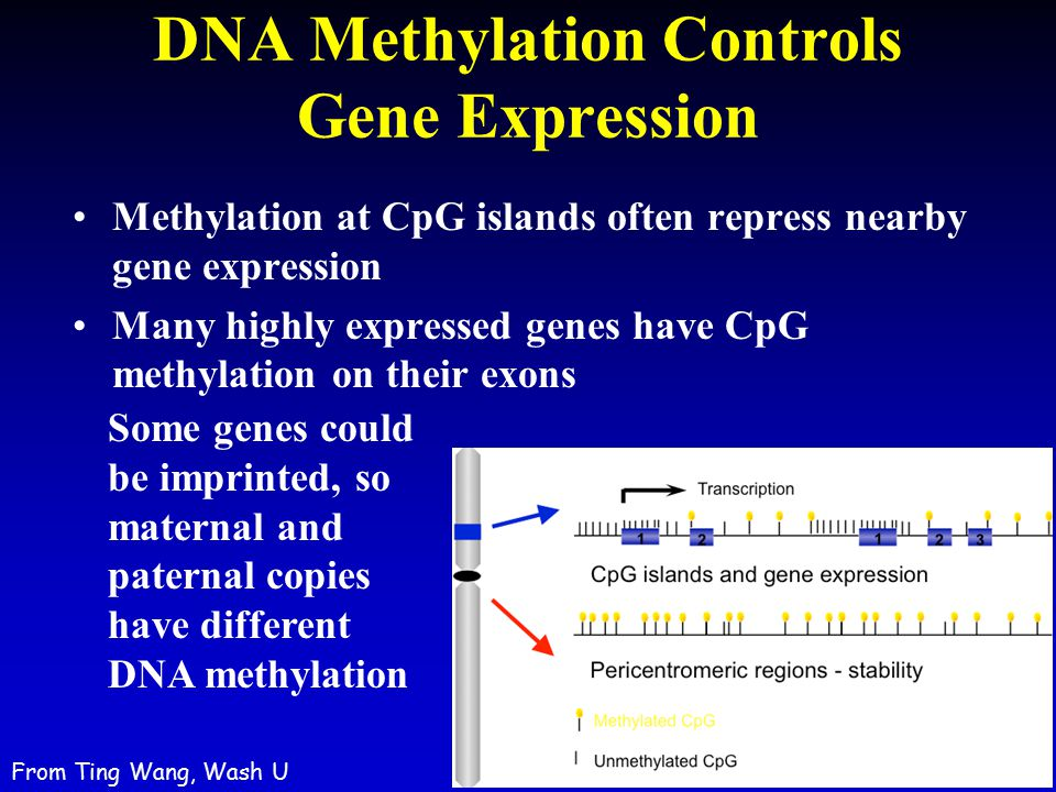 DNA Methylation Controls Gene Expression