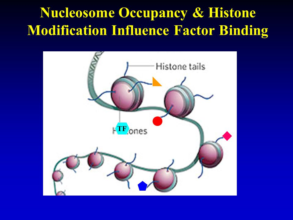 Nucleosome Occupancy & Histone Modification Influence Factor Binding