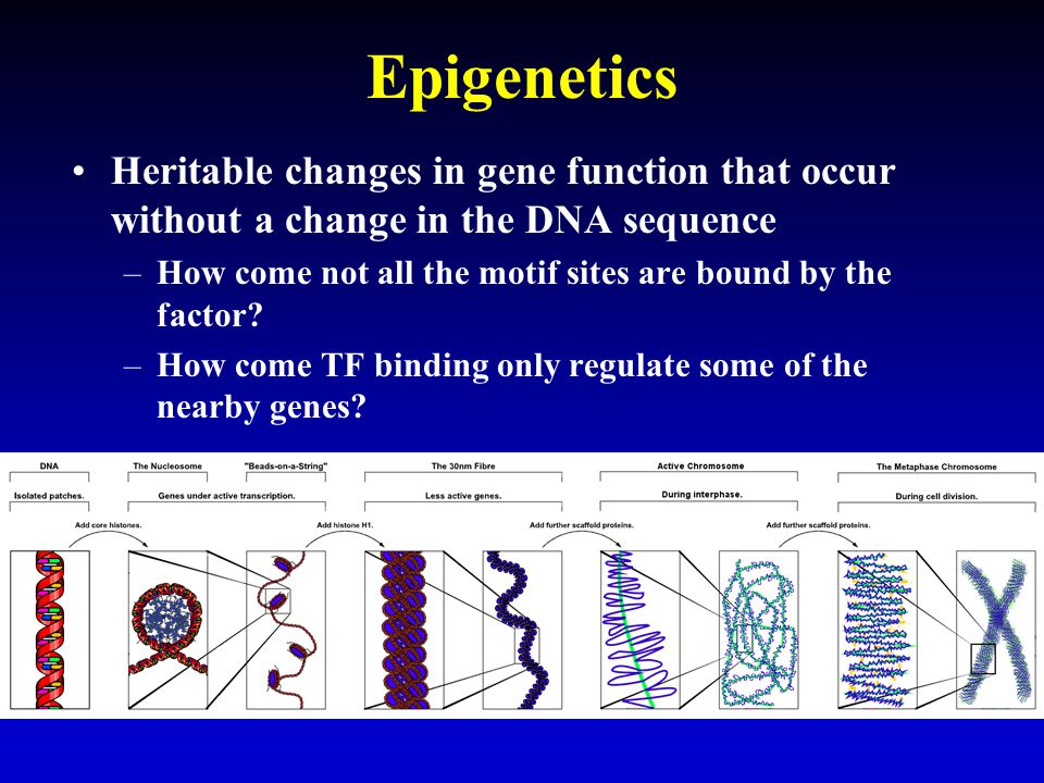 Epigenetics Heritable changes in gene function that occur without a change in the DNA sequence.
