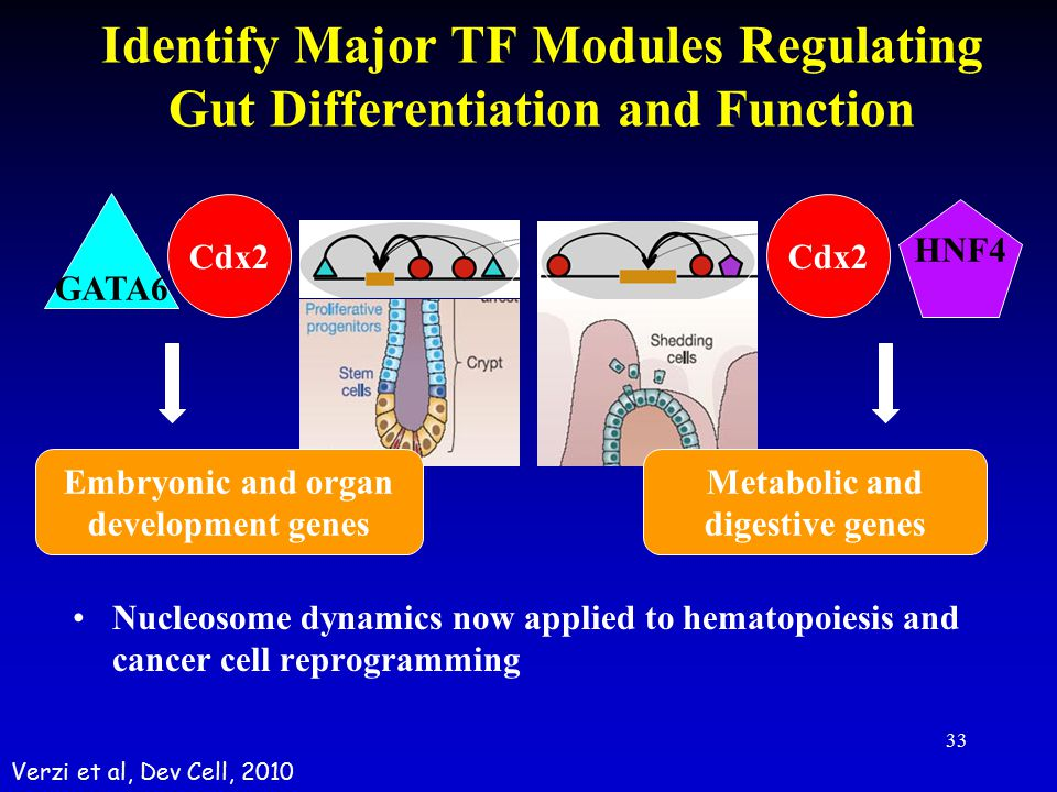 Identify Major TF Modules Regulating Gut Differentiation and Function