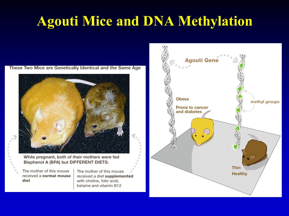 Agouti Mice and DNA Methylation