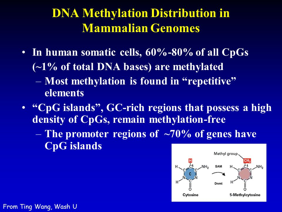 DNA Methylation Distribution in Mammalian Genomes
