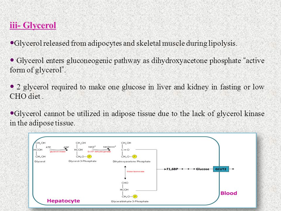 iii- Glycerol Glycerol released from adipocytes and skeletal muscle during lipolysis.
