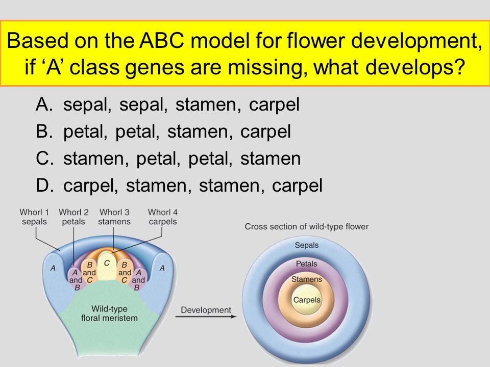 Based on the ABC model for flower development, if 'A' class genes are missing, what develops