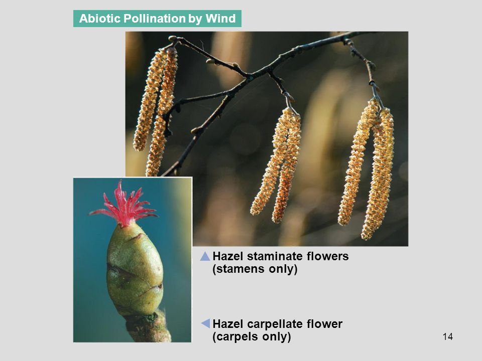 Abiotic Pollination by Wind