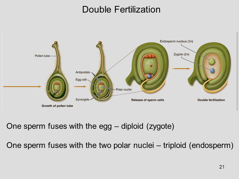 Double Fertilization One sperm fuses with the egg – diploid (zygote)