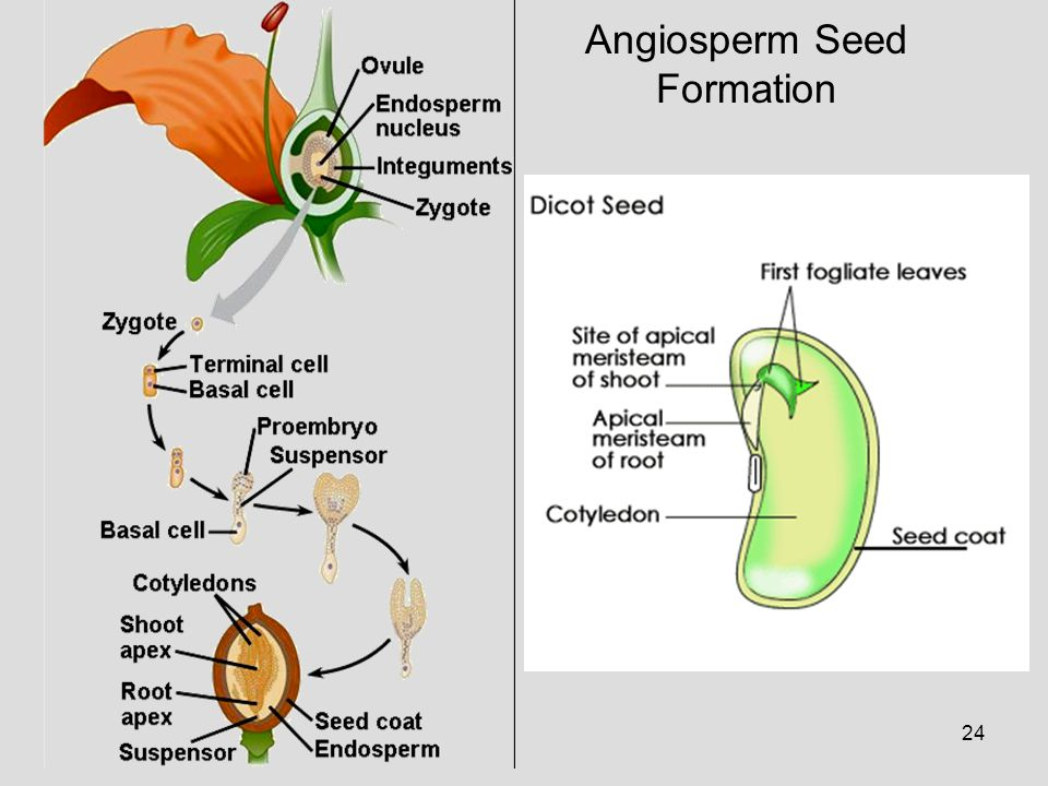 Angiosperm Seed Formation