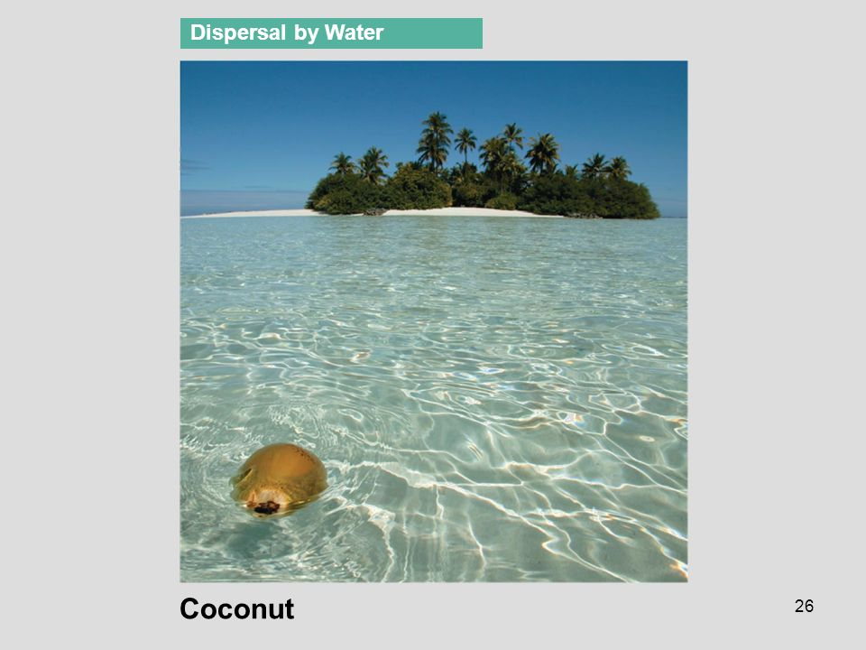 Dispersal by Water Figure 38.11 Fruit and seed dispersal Coconut
