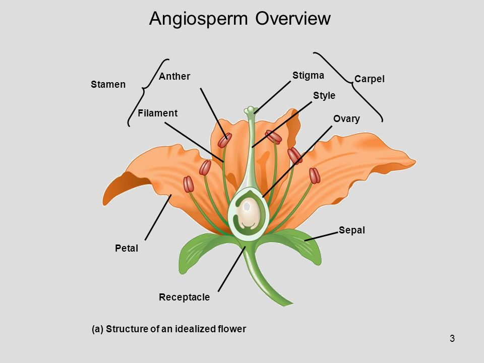 Angiosperm Overview Anther Stigma Carpel Stamen Style Filament Ovary