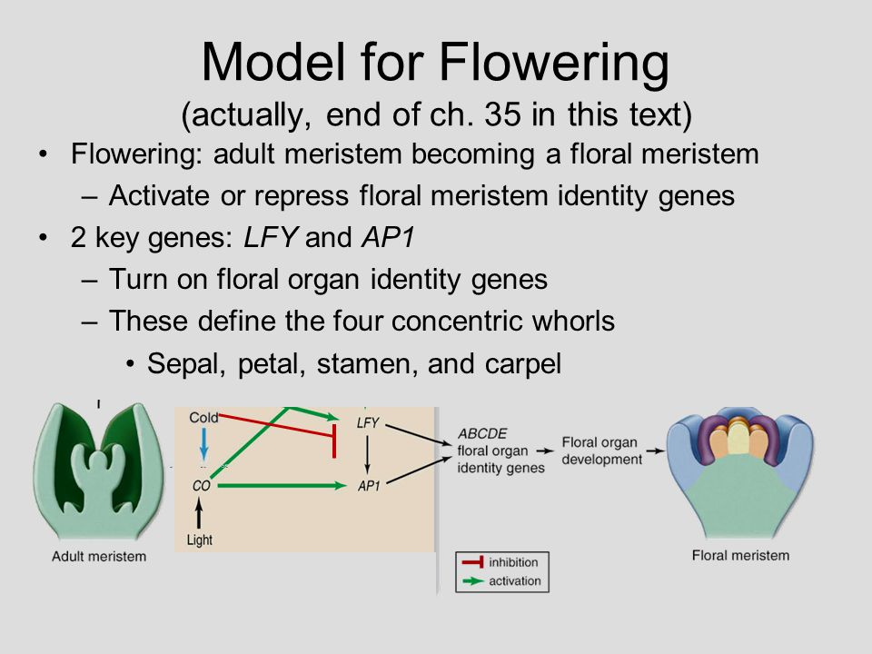 Model for Flowering (actually, end of ch. 35 in this text)