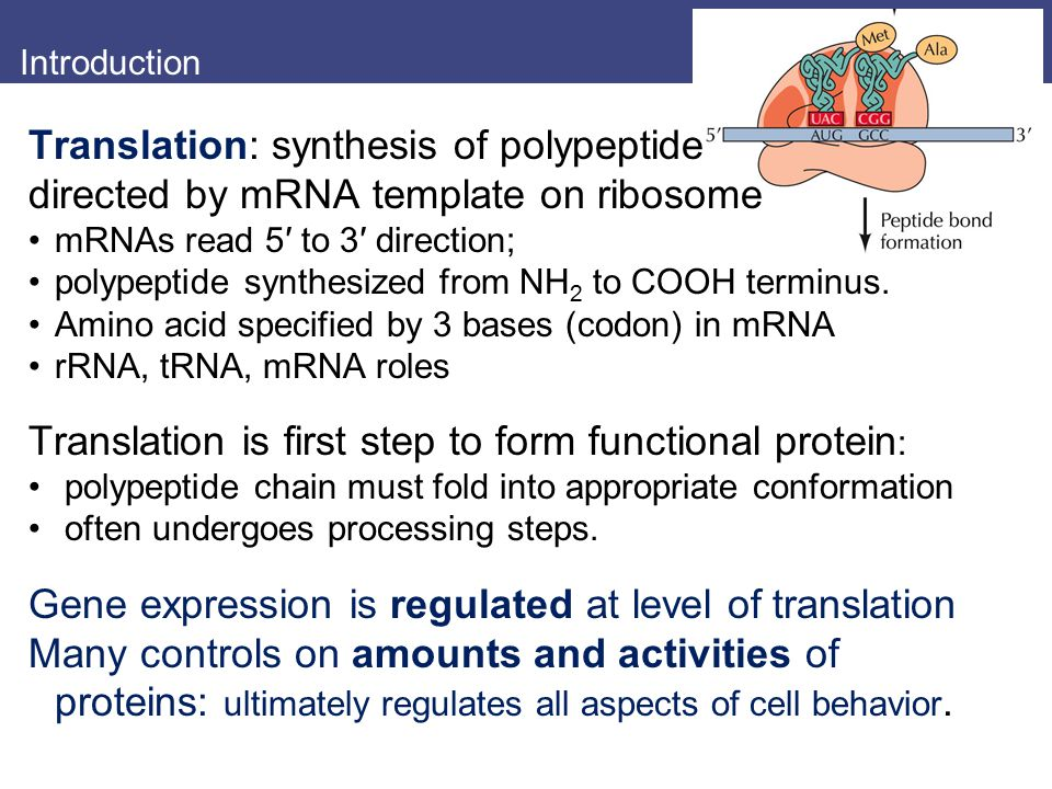 Translation: synthesis of polypeptide