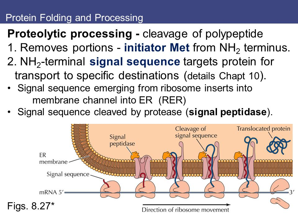 Protein Folding and Processing