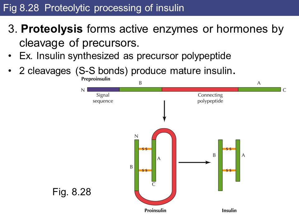 Fig 8.28 Proteolytic processing of insulin