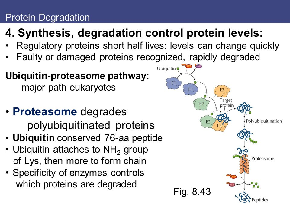 4. Synthesis, degradation control protein levels: