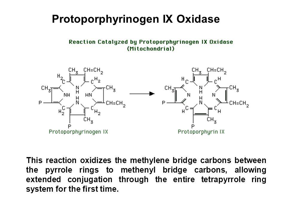 Protoporphyrinogen IX Oxidase