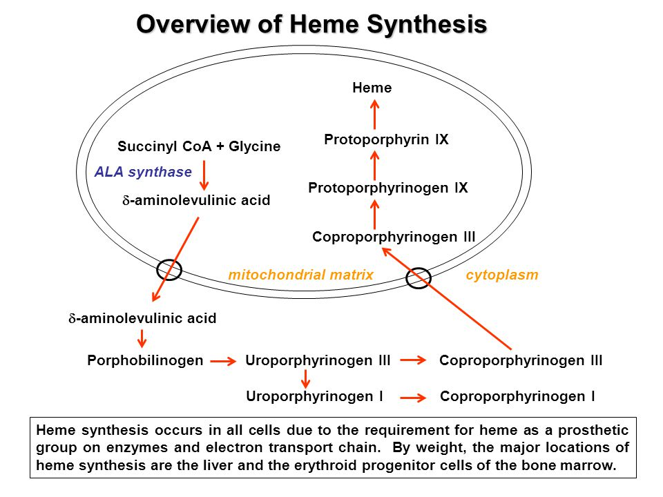 Overview of Heme Synthesis