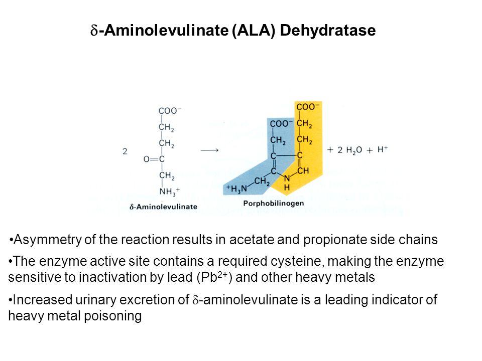 -Aminolevulinate (ALA) Dehydratase