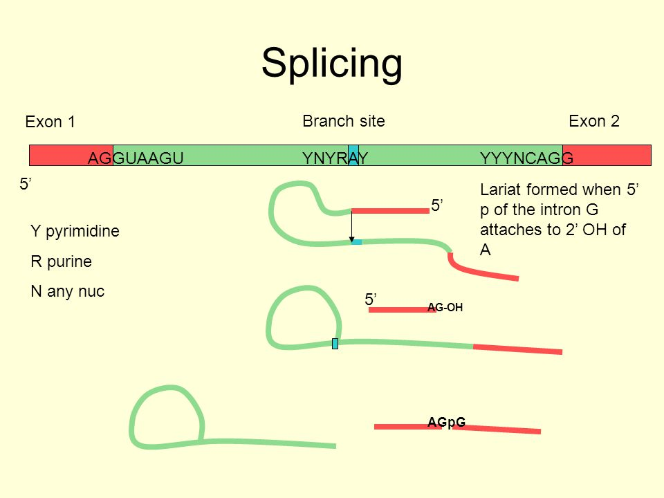 Splicing Exon 1 Branch site Exon 2 AGGUAAGU YNYRAY YYYNCAGG 5'