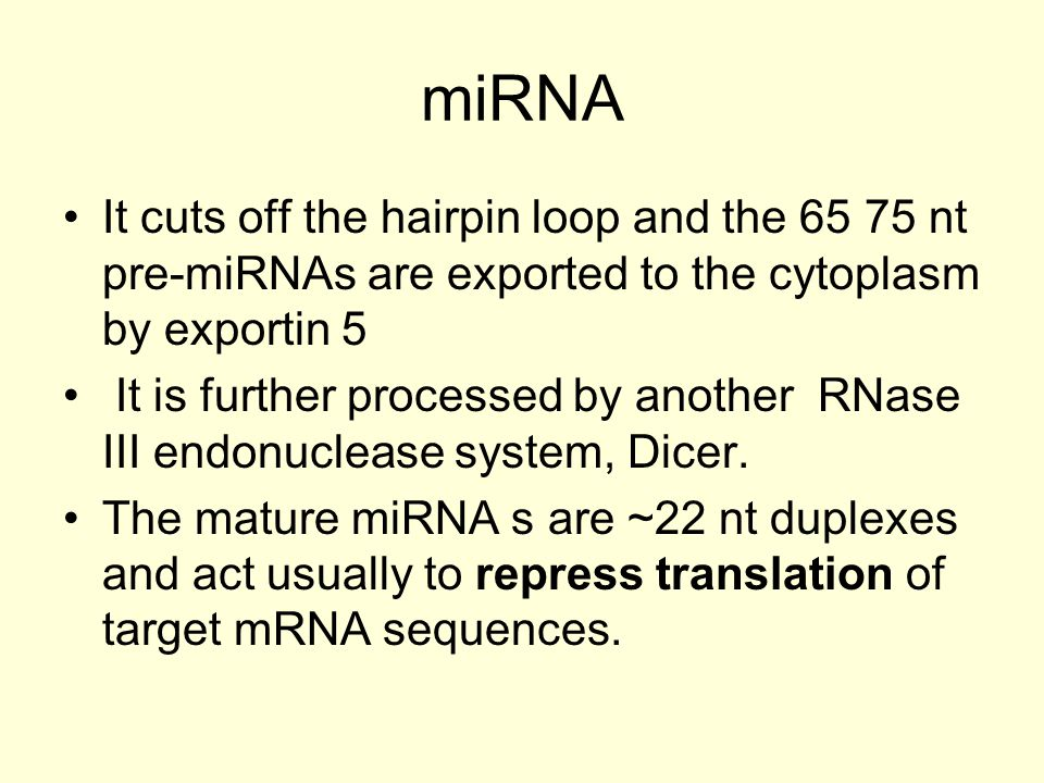 miRNA It cuts off the hairpin loop and the 65 75 nt pre-miRNAs are exported to the cytoplasm by exportin 5.