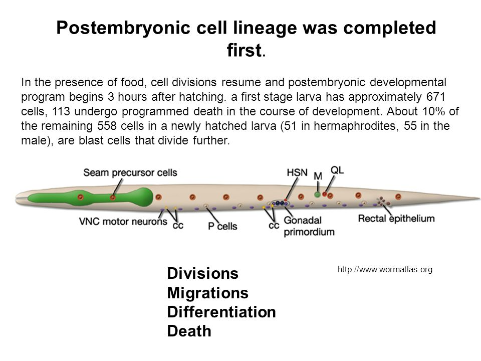 Postembryonic cell lineage was completed first.