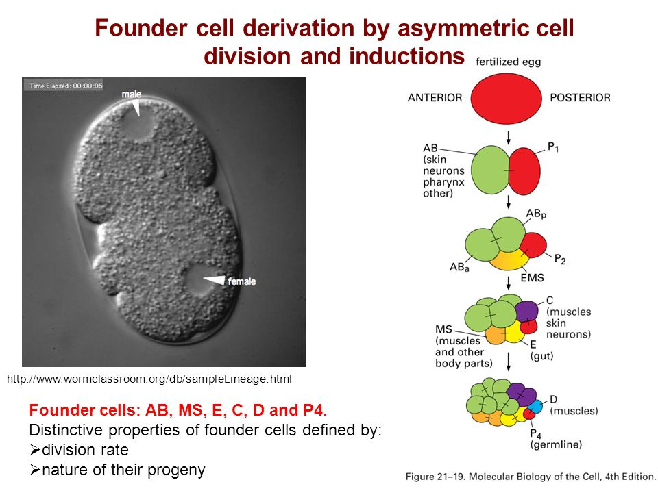 Founder cell derivation by asymmetric cell division and inductions