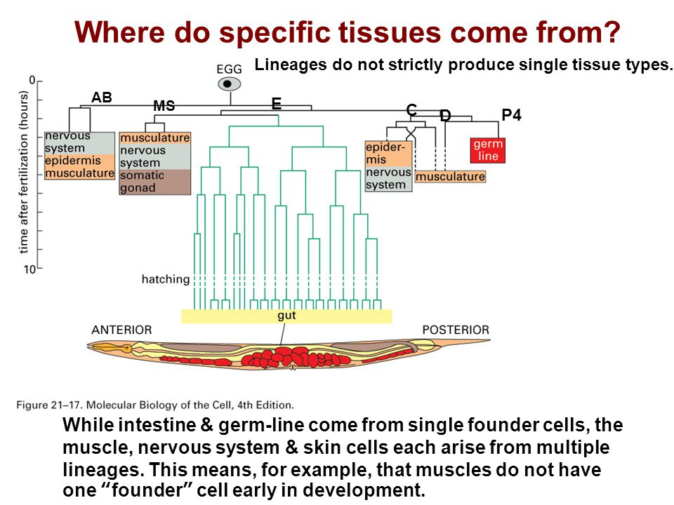 Where do specific tissues come from