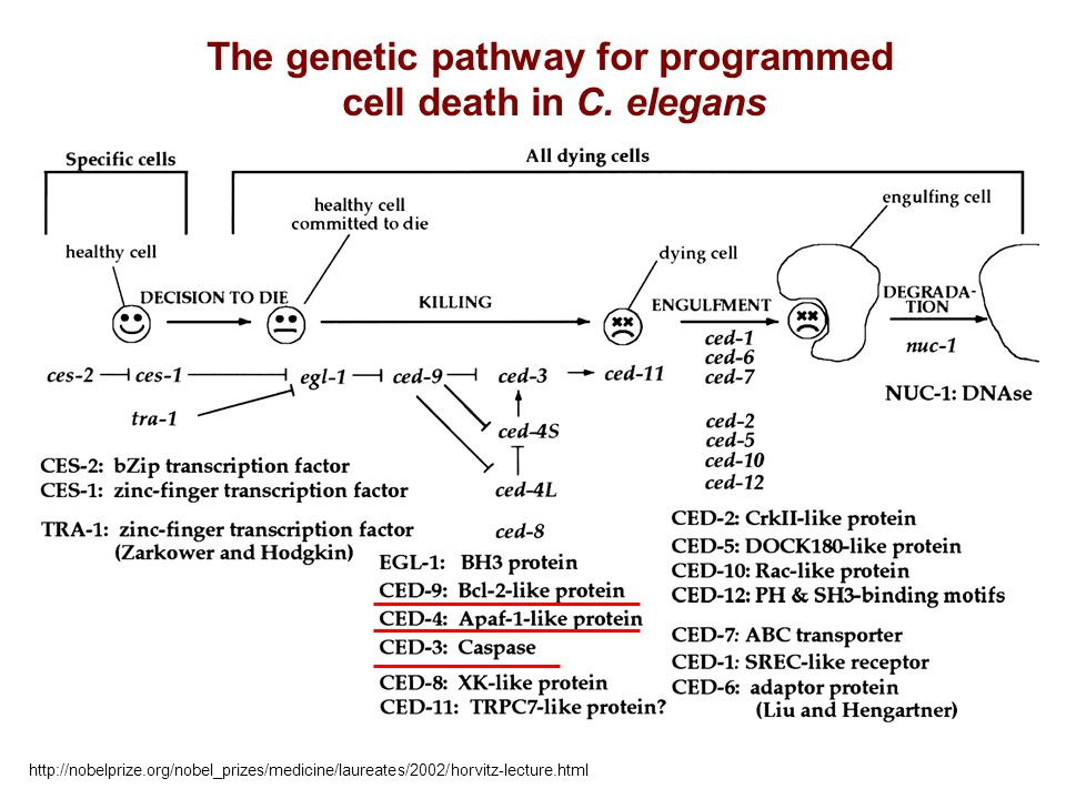 The genetic pathway for programmed