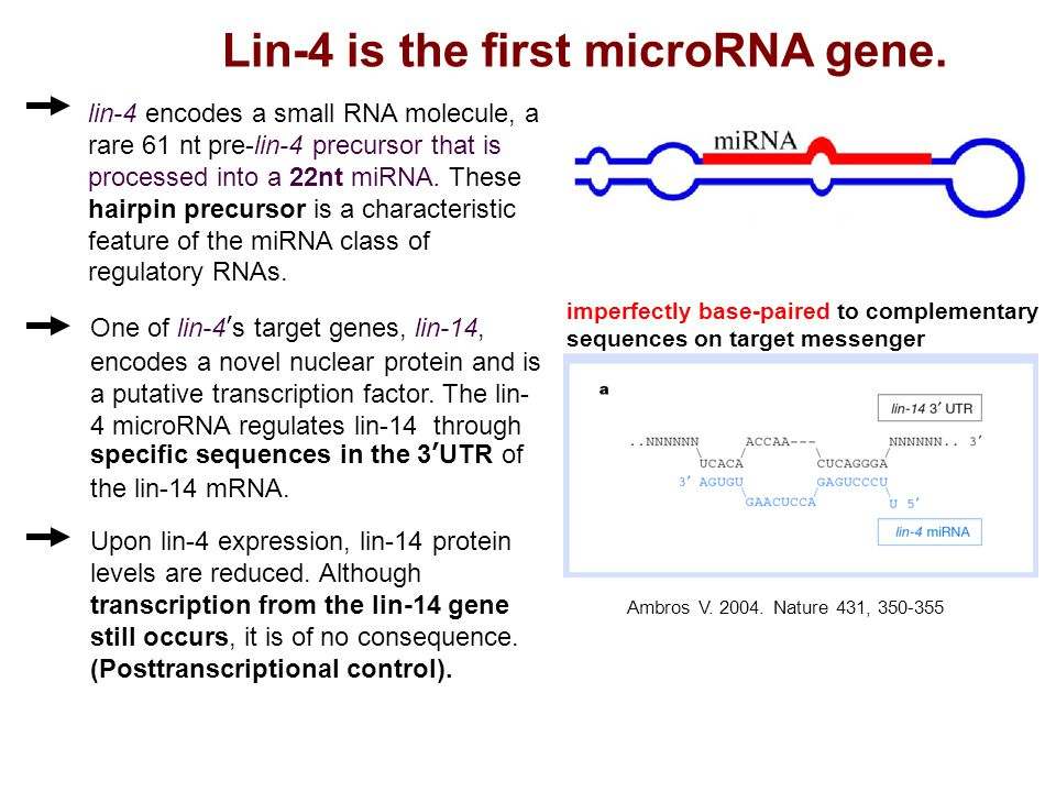 Lin-4 is the first microRNA gene.