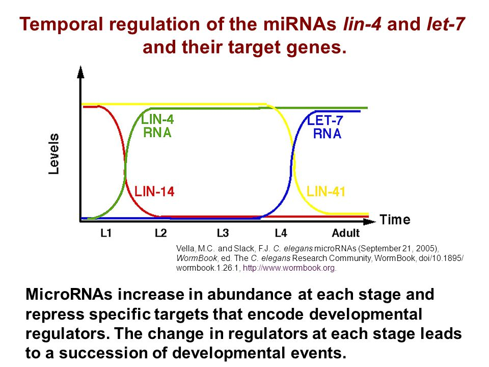 Temporal regulation of the miRNAs lin-4 and let-7