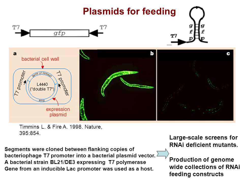 Plasmids for feeding Large-scale screens for RNAi deficient mutants.