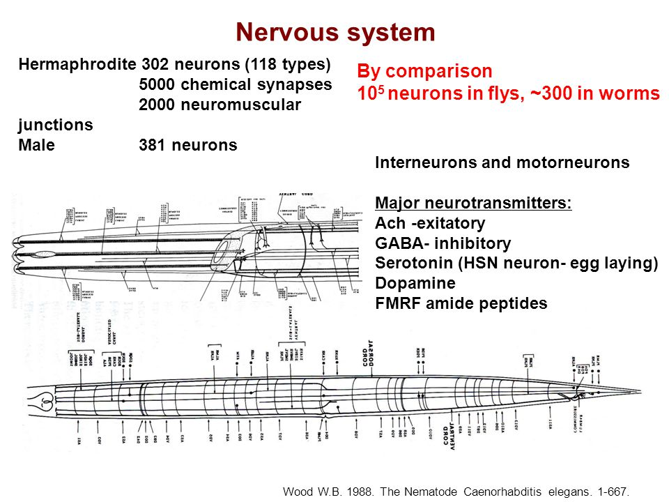 Nervous system By comparison 105 neurons in flys, ~300 in worms