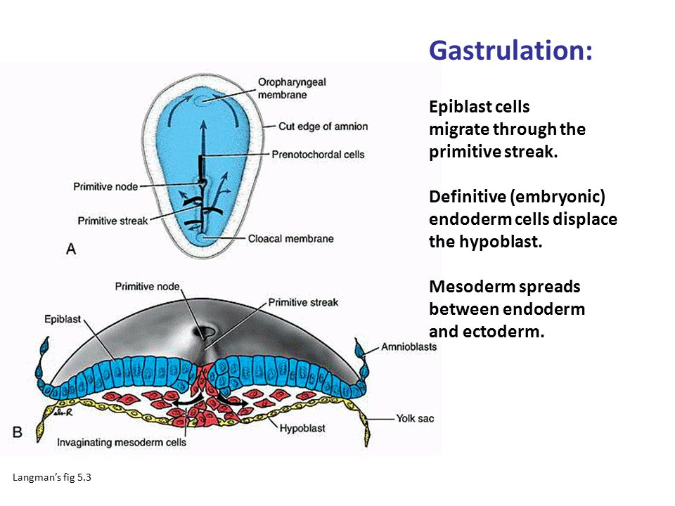 Gastrulation: Epiblast cells migrate through the primitive streak.
