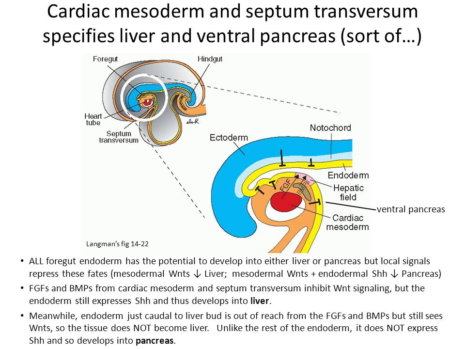 Cardiac mesoderm and septum transversum specifies liver and ventral pancreas (sort of…)