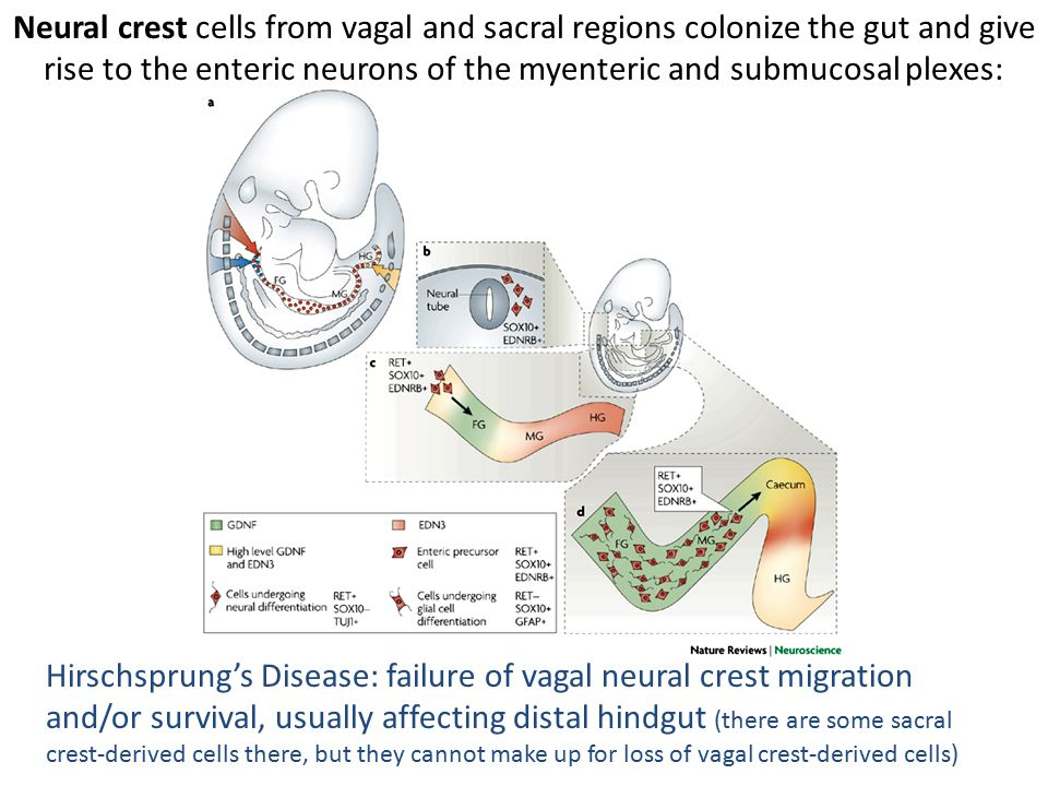 Neural crest cells from vagal and sacral regions colonize the gut and give rise to the enteric neurons of the myenteric and submucosal plexes: