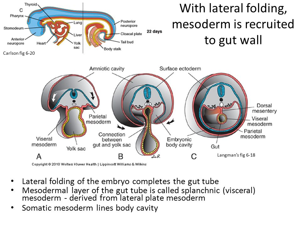 With lateral folding, mesoderm is recruited to gut wall