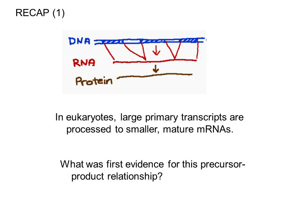 RECAP (1) In eukaryotes, large primary transcripts are processed to smaller, mature mRNAs.