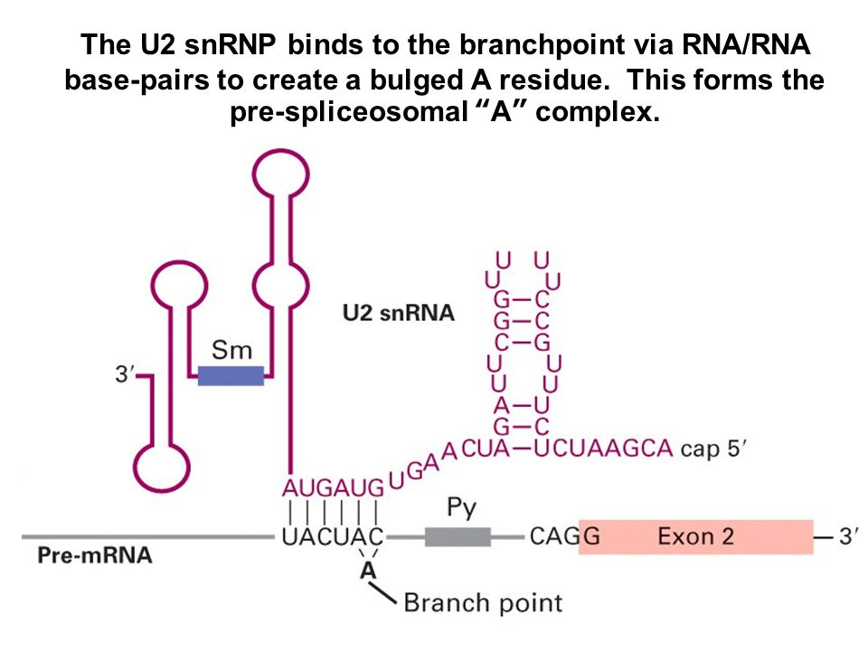 The U2 snRNP binds to the branchpoint via RNA/RNA base-pairs to create a bulged A residue.