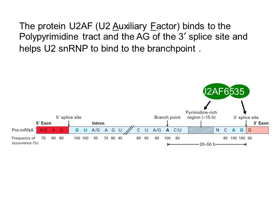 The protein U2AF (U2 Auxiliary Factor) binds to the Polypyrimidine tract and the AG of the 3' splice site and helps U2 snRNP to bind to the branchpoint .