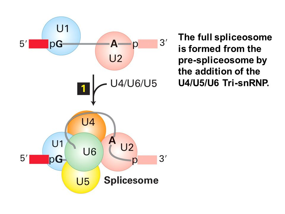 The full spliceosome is formed from the pre-spliceosome by the addition of the U4/U5/U6 Tri-snRNP.